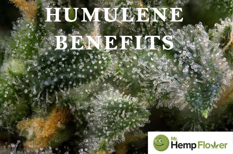 Humulene Benefits