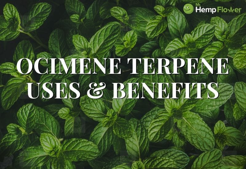 Ocimene terpene benefits